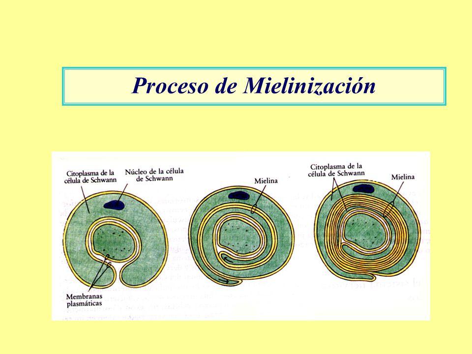 Proceso de Mielinización