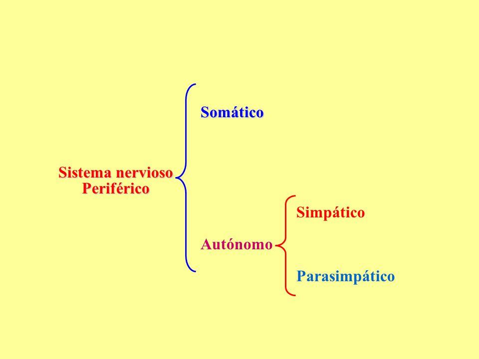 Somático Sistema nervioso Periférico Simpático Autónomo Parasimpático