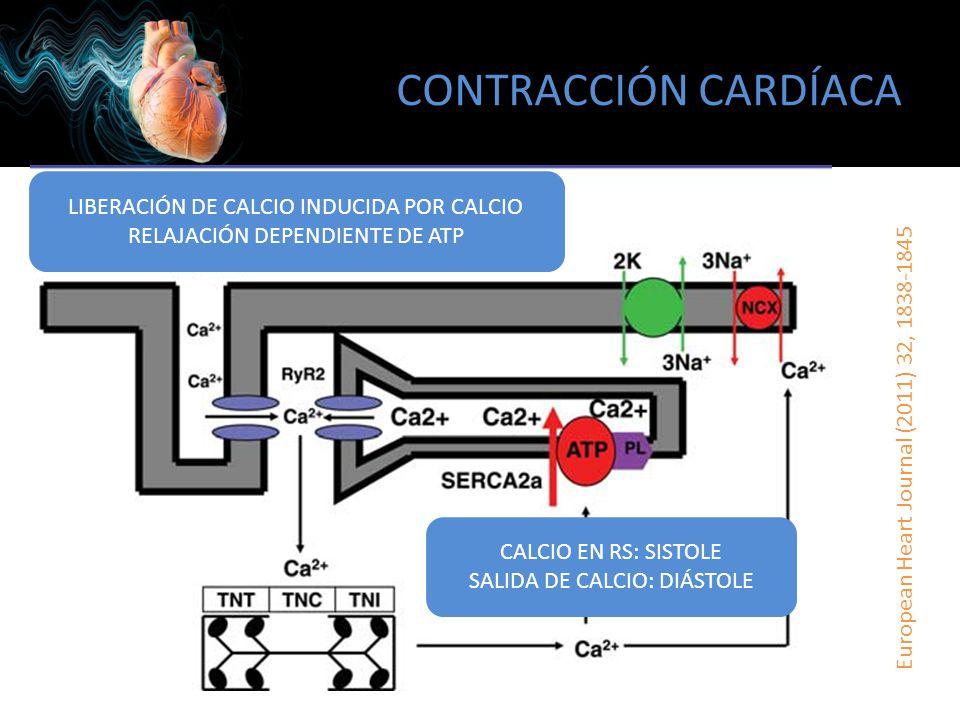 CONTRACCIÓN CARDÍACA LIBERACIÓN DE CALCIO INDUCIDA POR CALCIO