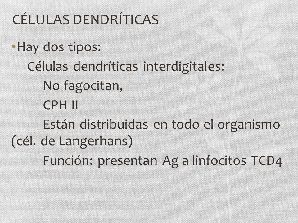 CÉLULAS DENDRÍTICAS Hay dos tipos: Células dendríticas interdigitales: