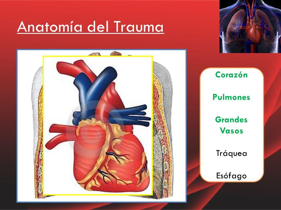 Increíble Anatomía Del Corazón Y Los Grandes Vasos Festooning ...
