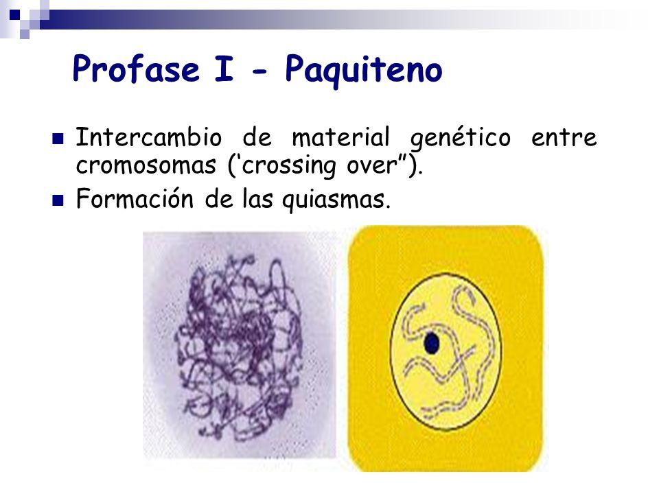 Profase I - Paquiteno Intercambio de material genético entre cromosomas ('crossing over ).