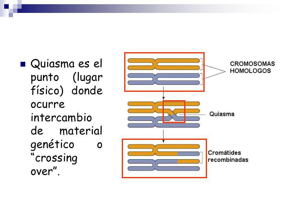 Quiasma es el punto (lugar físico) donde ocurre intercambio de material genético o crossing over .
