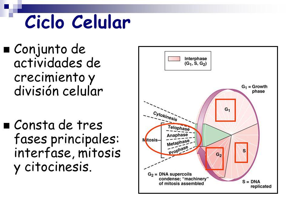 Ciclo CelularConjunto de actividades de crecimiento y división celular.
