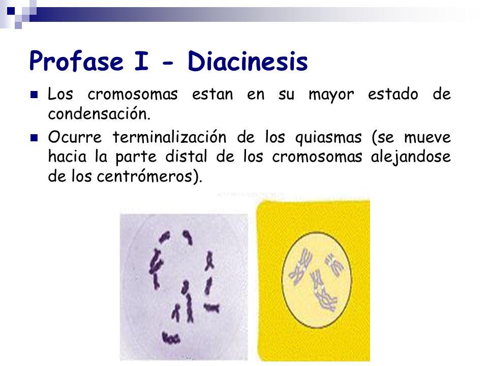 Profase I - Diacinesis Los cromosomas estan en su mayor estado de condensación.