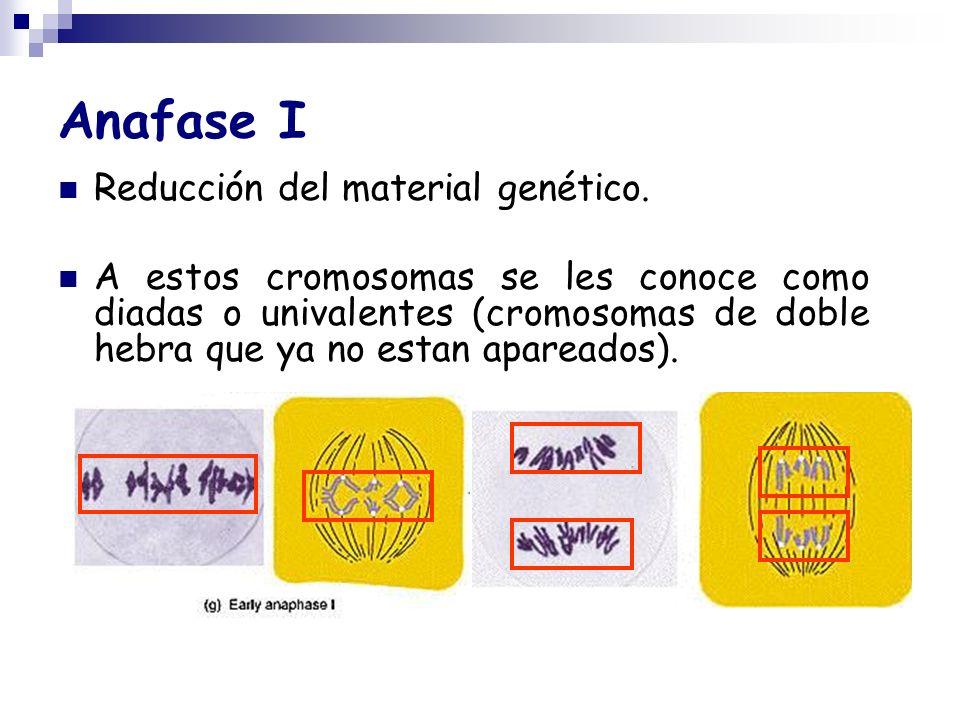 Anafase I Reducción del material genético.