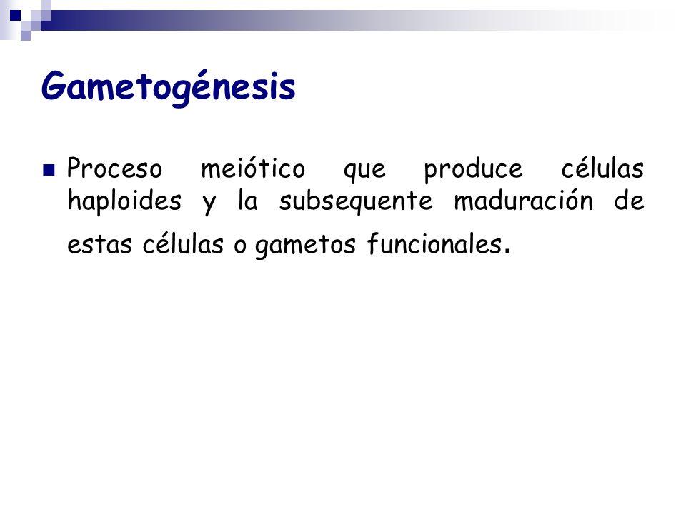 GametogénesisProceso meiótico que produce células haploides y la subsequente maduración de estas células o gametos funcionales.
