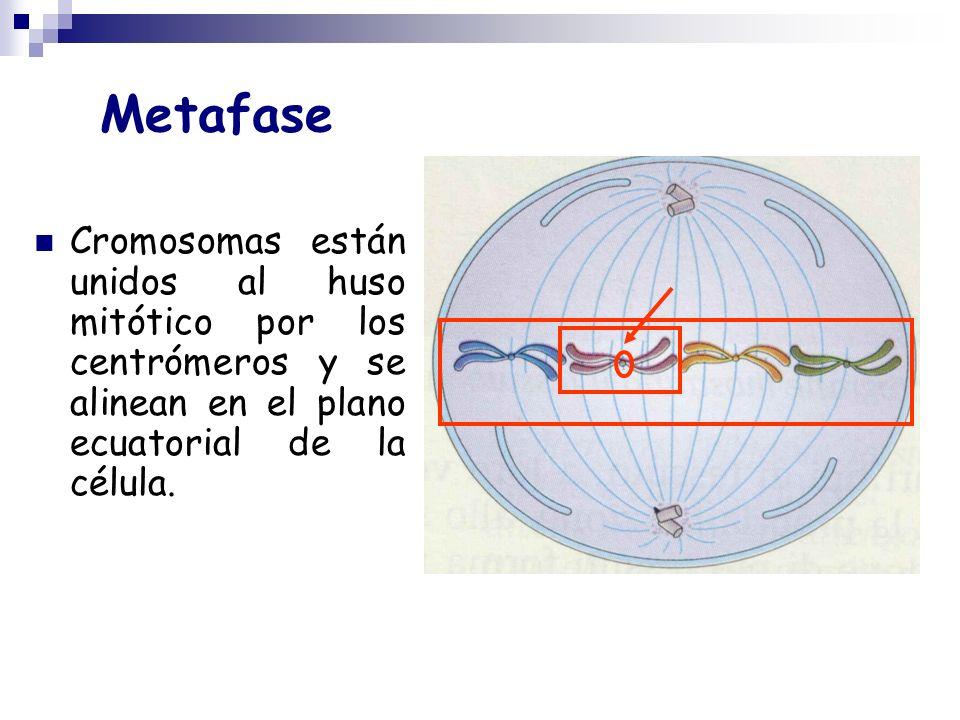 MetafaseCromosomas están unidos al huso mitótico por los centrómeros y se alinean en el plano ecuatorial de la célula.