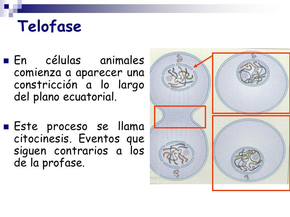 TelofaseEn células animales comienza a aparecer una constricción a lo largo del plano ecuatorial.