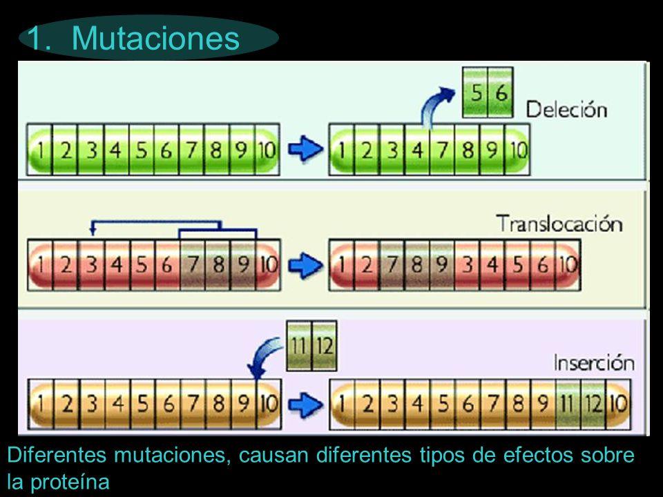1. Mutaciones Diferentes mutaciones, causan diferentes tipos de efectos sobre la proteína