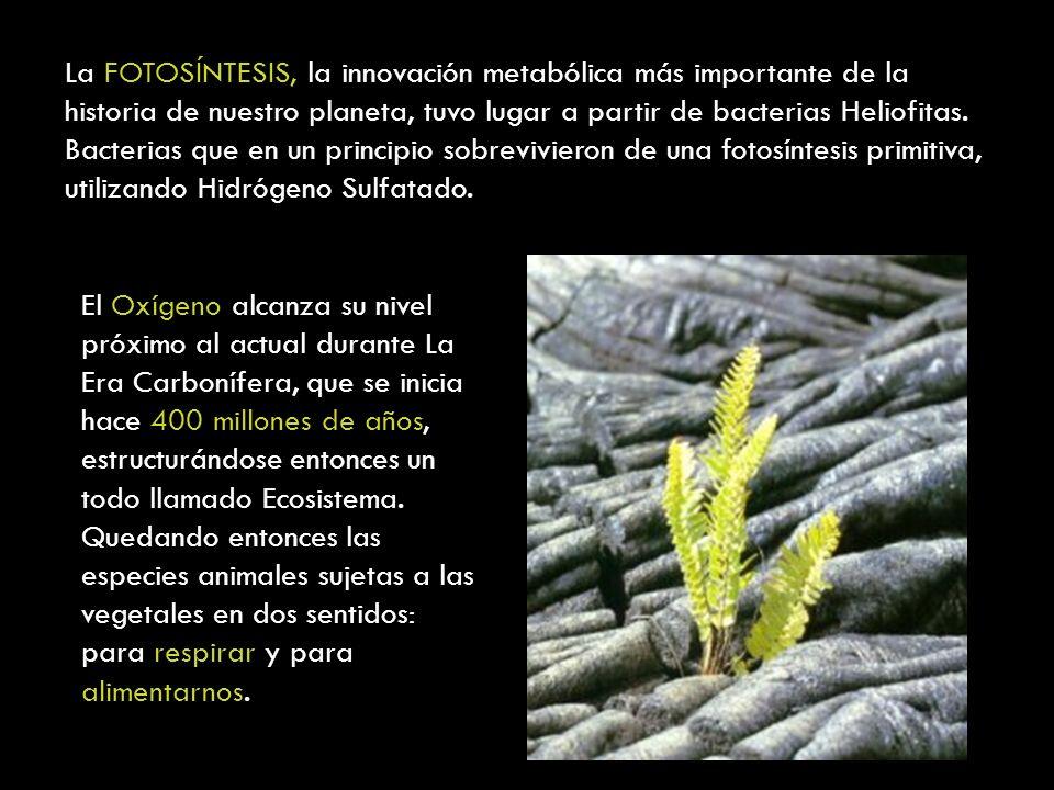 La FOTOSÍNTESIS, la innovación metabólica más importante de la historia de nuestro planeta, tuvo lugar a partir de bacterias Heliofitas. Bacterias que en un principio sobrevivieron de una fotosíntesis primitiva, utilizando Hidrógeno Sulfatado.