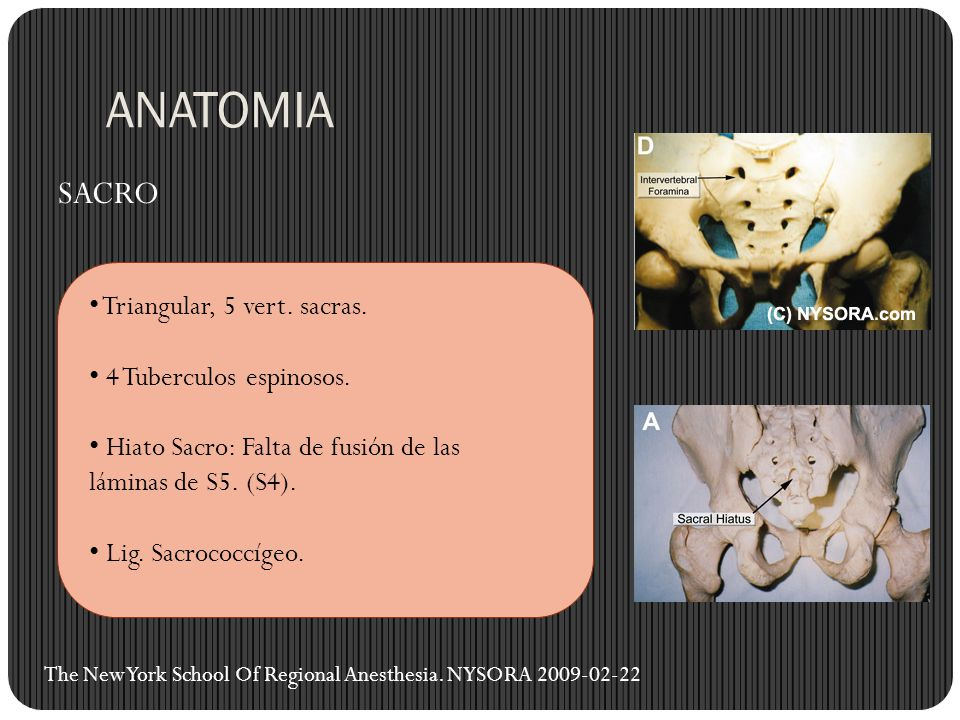 ANATOMIA SACRO Triangular, 5 vert. sacras. 4 Tuberculos espinosos.