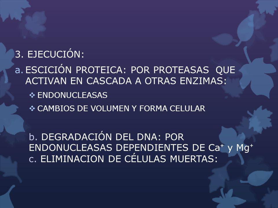 3. EJECUCIÓN: ESCICIÓN PROTEICA: POR PROTEASAS QUE ACTIVAN EN CASCADA A OTRAS ENZIMAS: ENDONUCLEASAS.