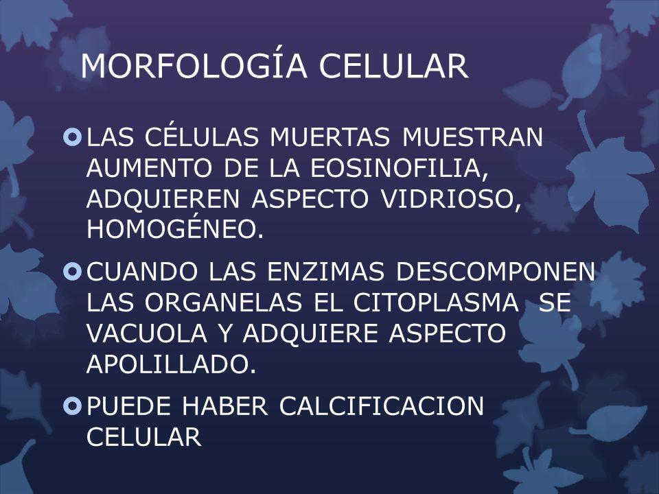 MORFOLOGÍA CELULAR LAS CÉLULAS MUERTAS MUESTRAN AUMENTO DE LA EOSINOFILIA, ADQUIEREN ASPECTO VIDRIOSO, HOMOGÉNEO.