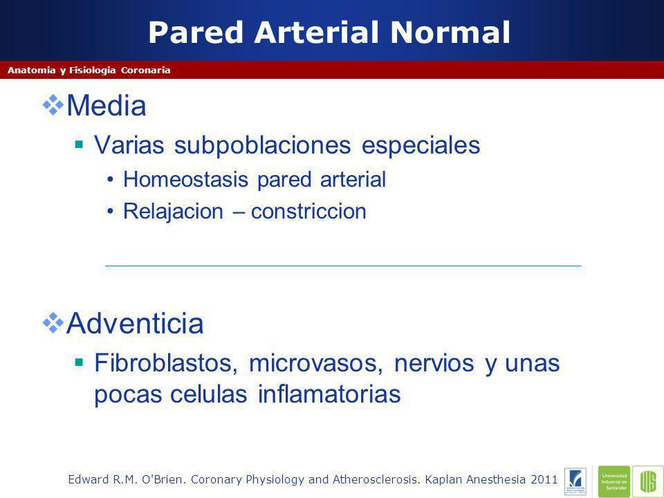 Pared Arterial Normal Media Adventicia
