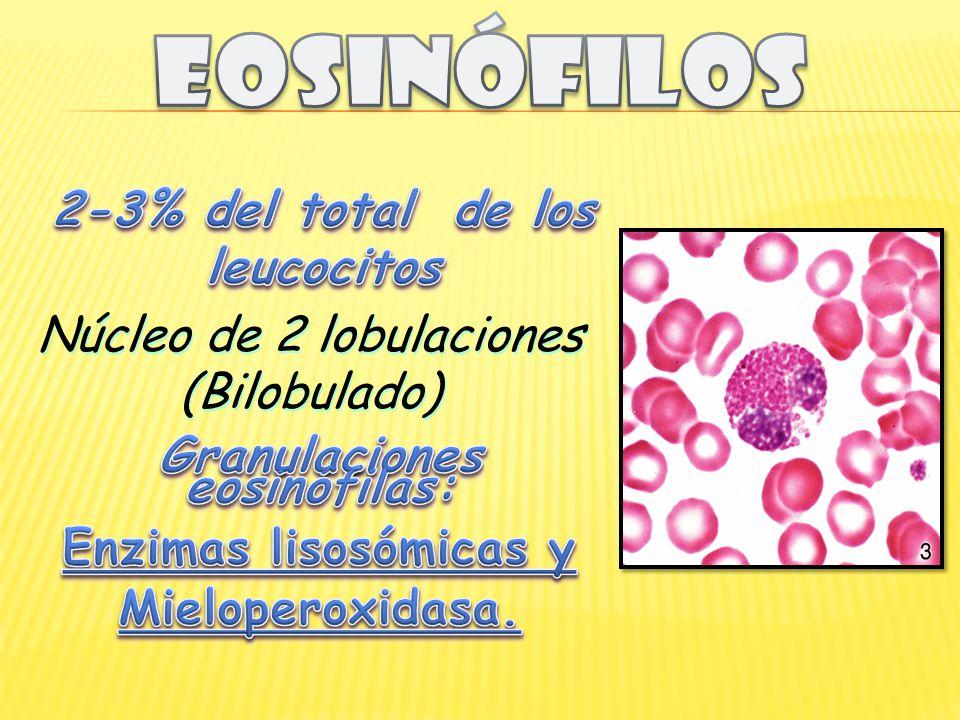 2-3% del total de los leucocitos Granulaciones eosinófilas: