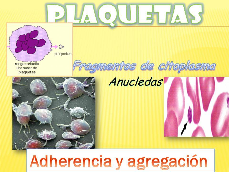 Fragmentos de citoplasma Adherencia y agregación