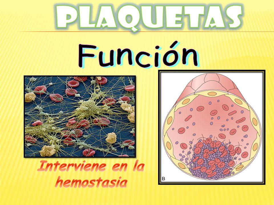 Interviene en la hemostasia