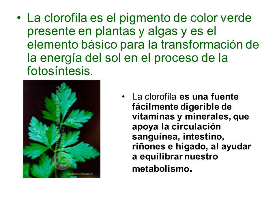 La clorofila es el pigmento de color verde presente en plantas y algas y es el elemento básico para la transformación de la energía del sol en el proceso de la fotosíntesis.