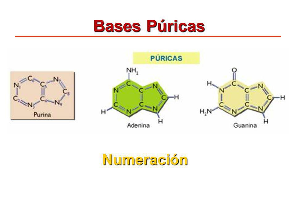 Bases Púricas Numeración