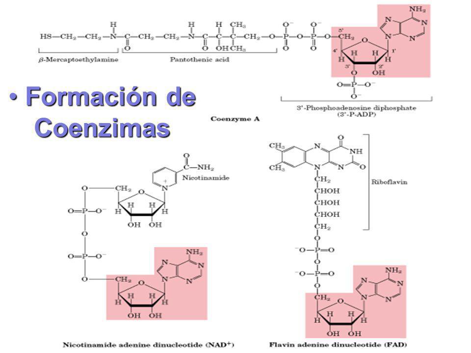 Formación de Coenzimas