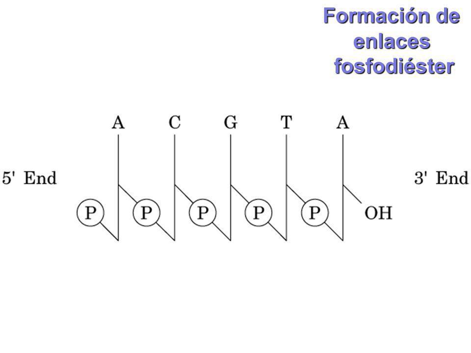 Formación de enlaces fosfodiéster