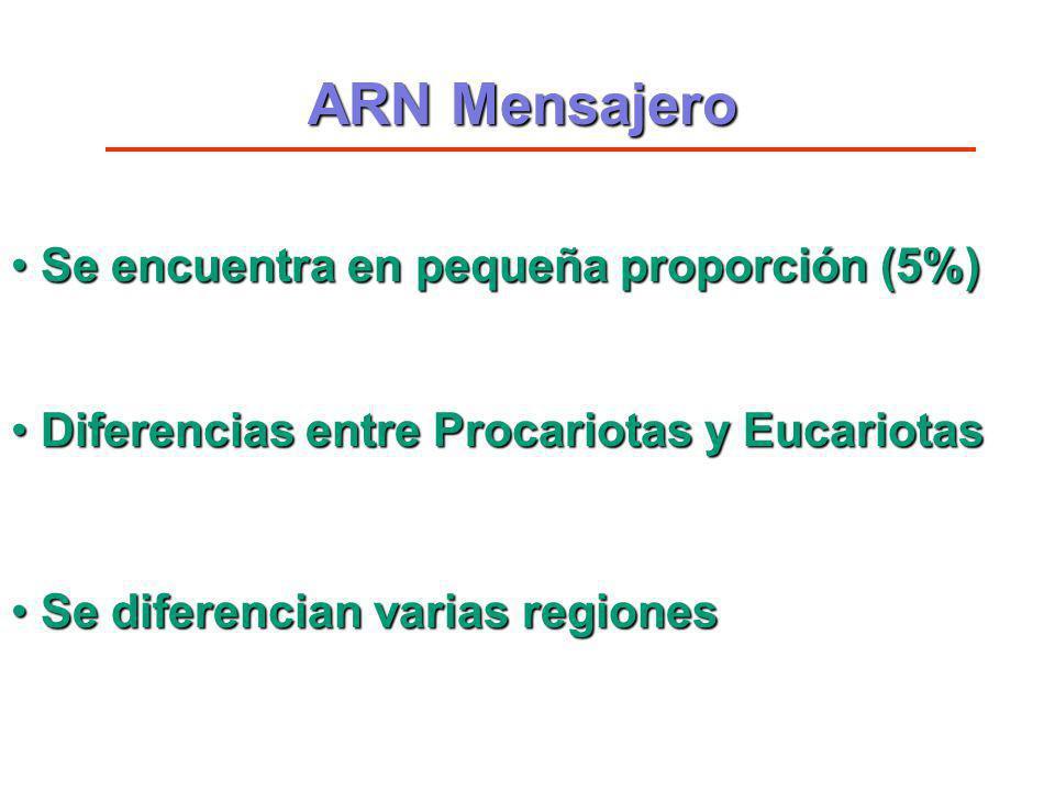 ARN Mensajero Se encuentra en pequeña proporción (5%)