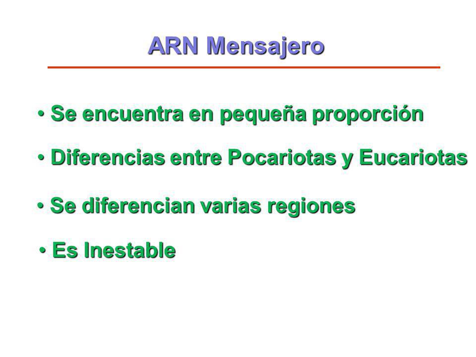 ARN Mensajero Se encuentra en pequeña proporción