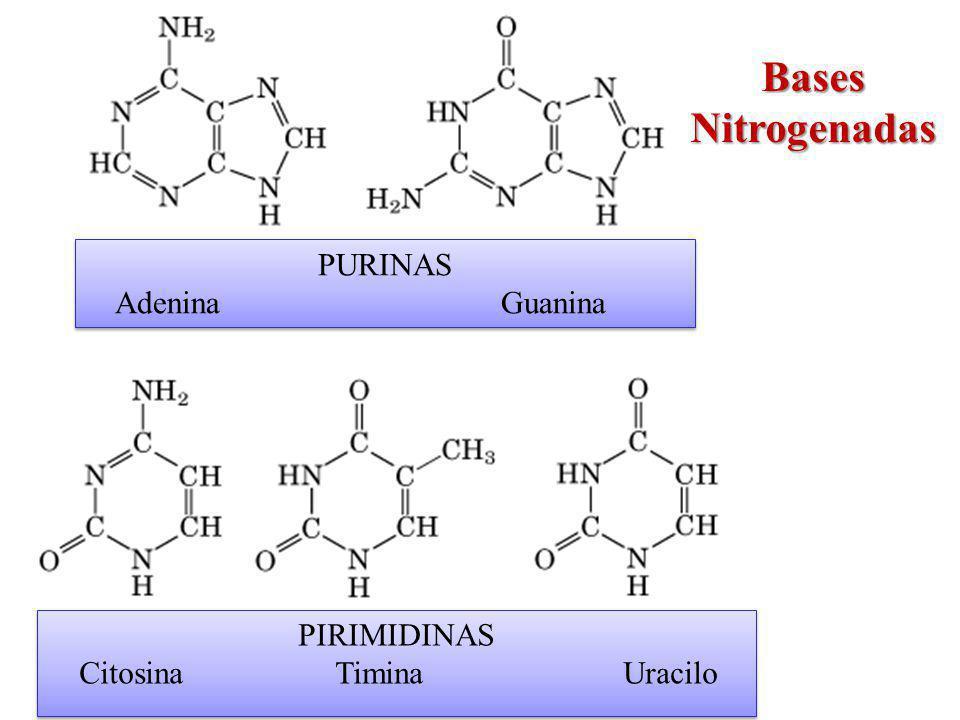Bases Nitrogenadas PURINAS Adenina Guanina PIRIMIDINAS