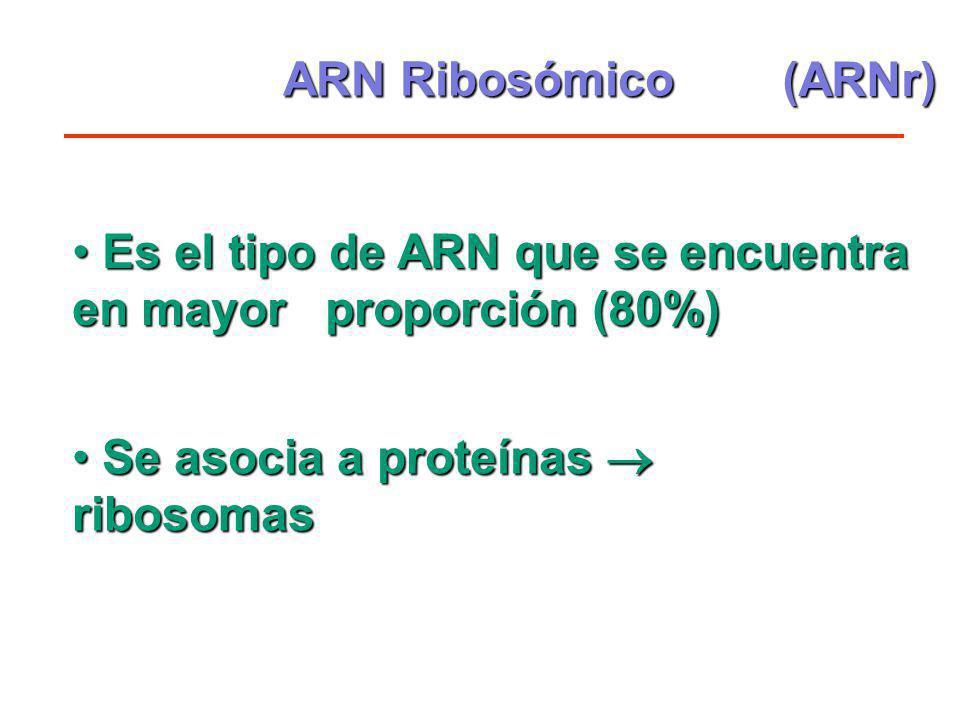 ARN Ribosómico (ARNr) Es el tipo de ARN que se encuentra en mayor proporción (80%) Se asocia a proteínas  ribosomas.