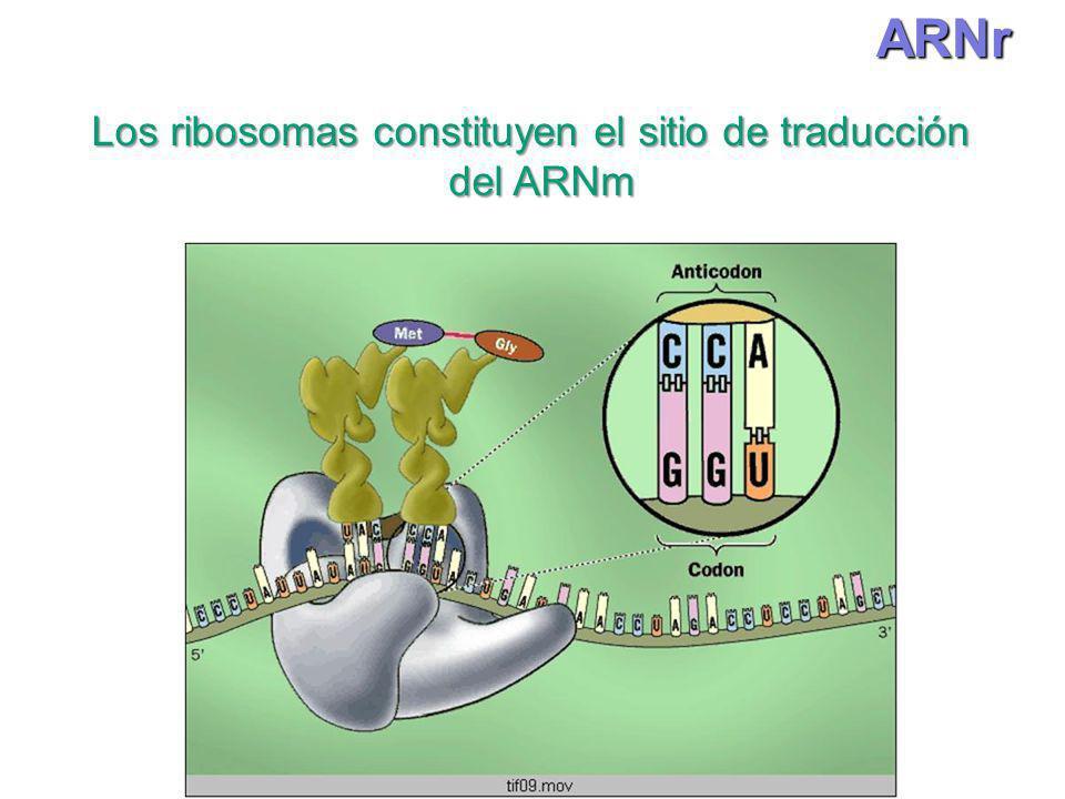 Los ribosomas constituyen el sitio de traducción
