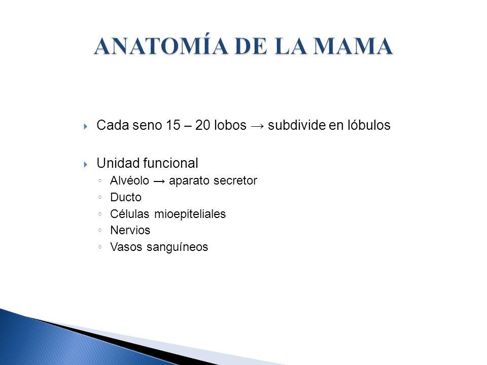 ANATOMÍA DE LA MAMA Cada seno 15 – 20 lobos → subdivide en lóbulos