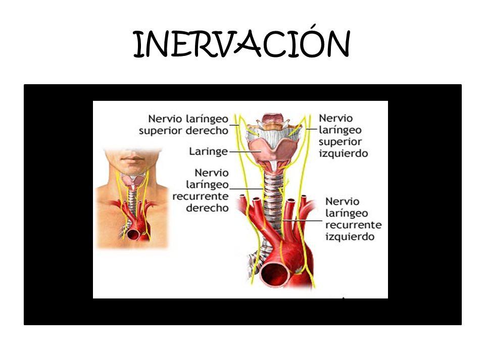 INERVACIÓN La inervacion de la glandula es de 2 tipos: una Simpática. Proviene del plexo simpático cervical.