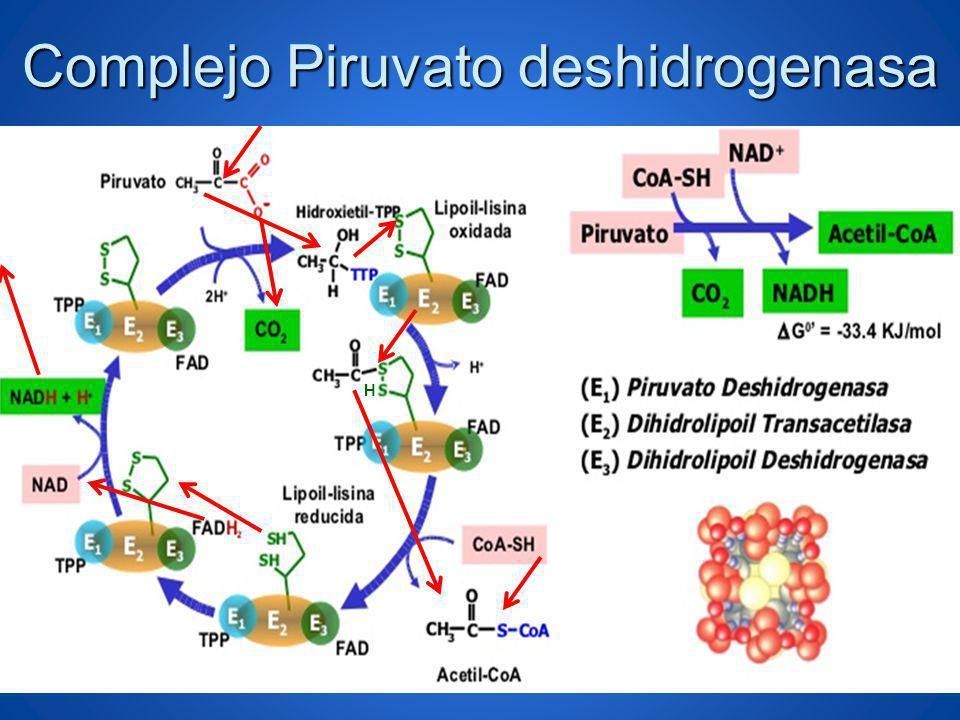 Complejo Piruvato deshidrogenasa
