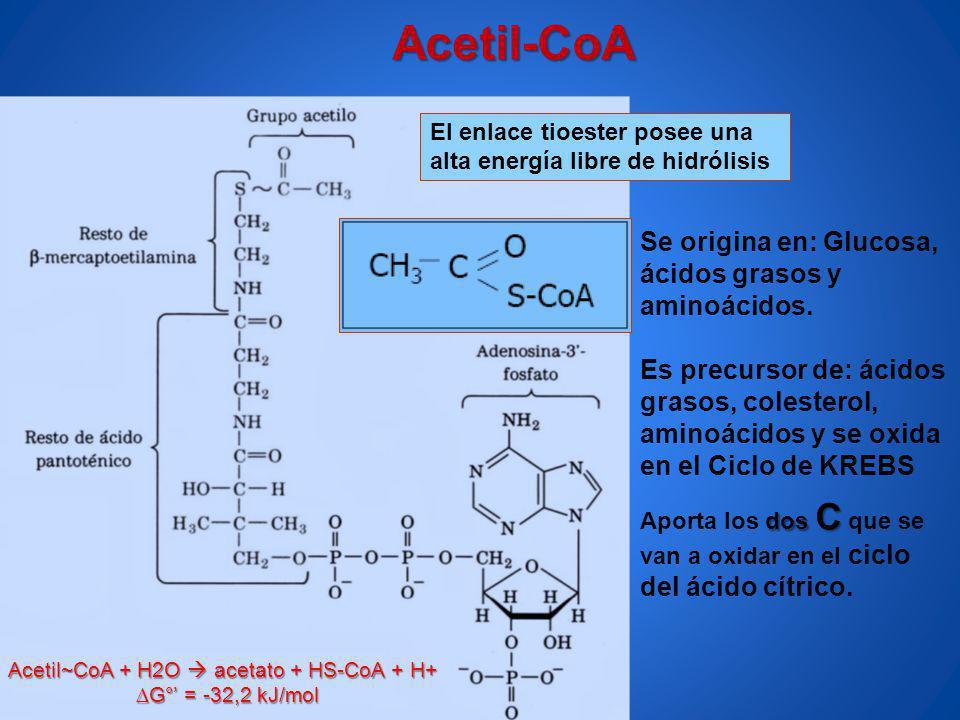 Acetil-CoA Se origina en: Glucosa, ácidos grasos y aminoácidos.