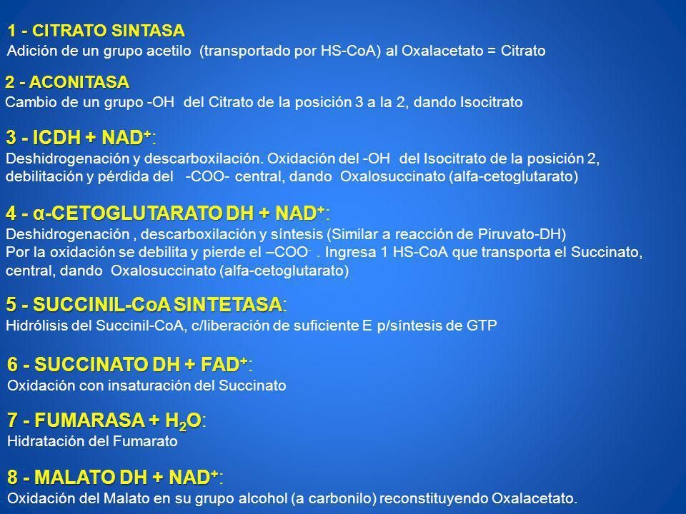 4 - α-CETOGLUTARATO DH + NAD+: