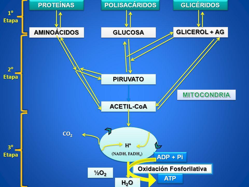 Oxidación Fosforilativa