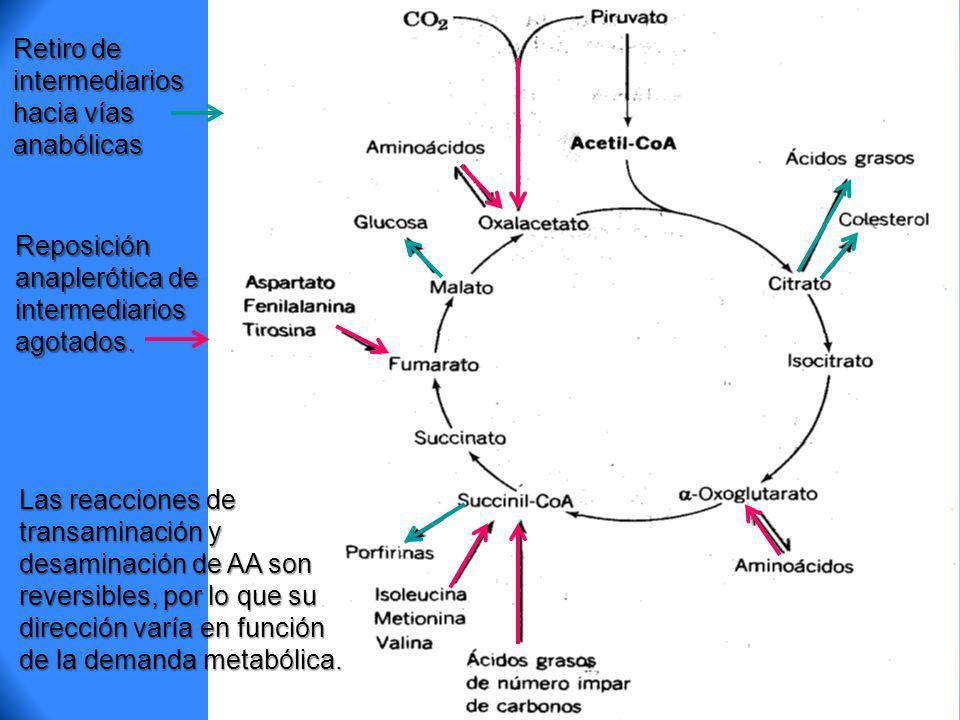Retiro de intermediarios hacia vías anabólicas