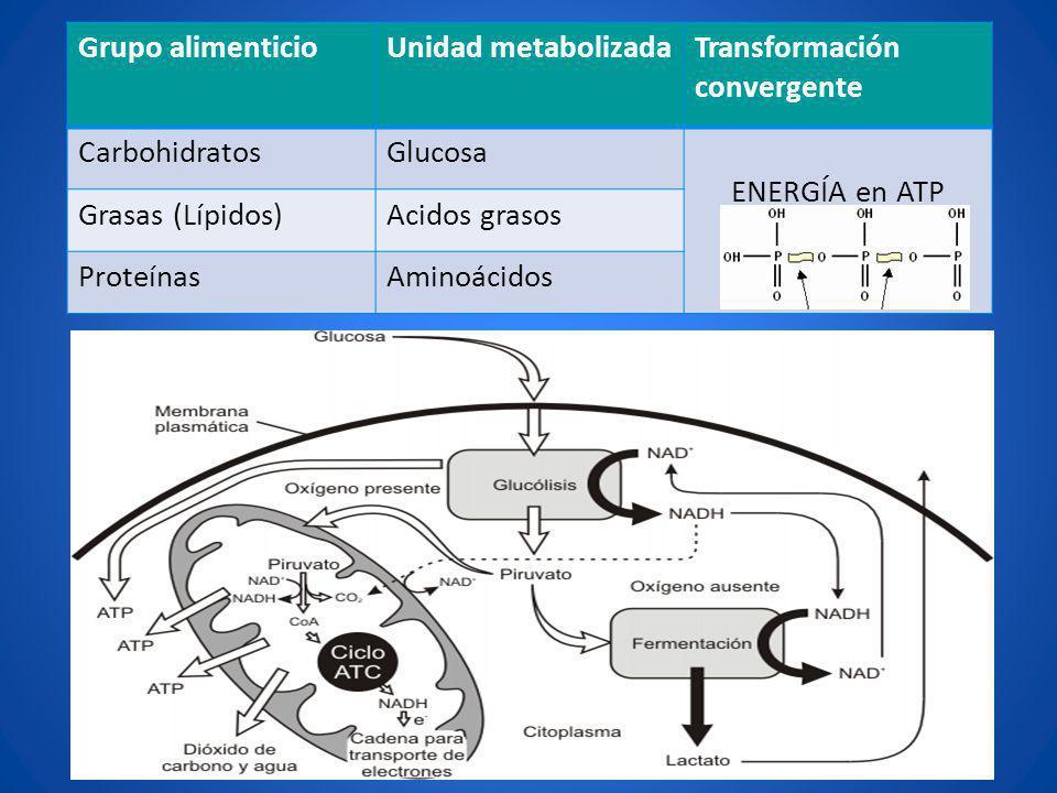 Grupo alimenticio Unidad metabolizada. Transformación convergente. Carbohidratos. Glucosa. ENERGÍA en ATP.