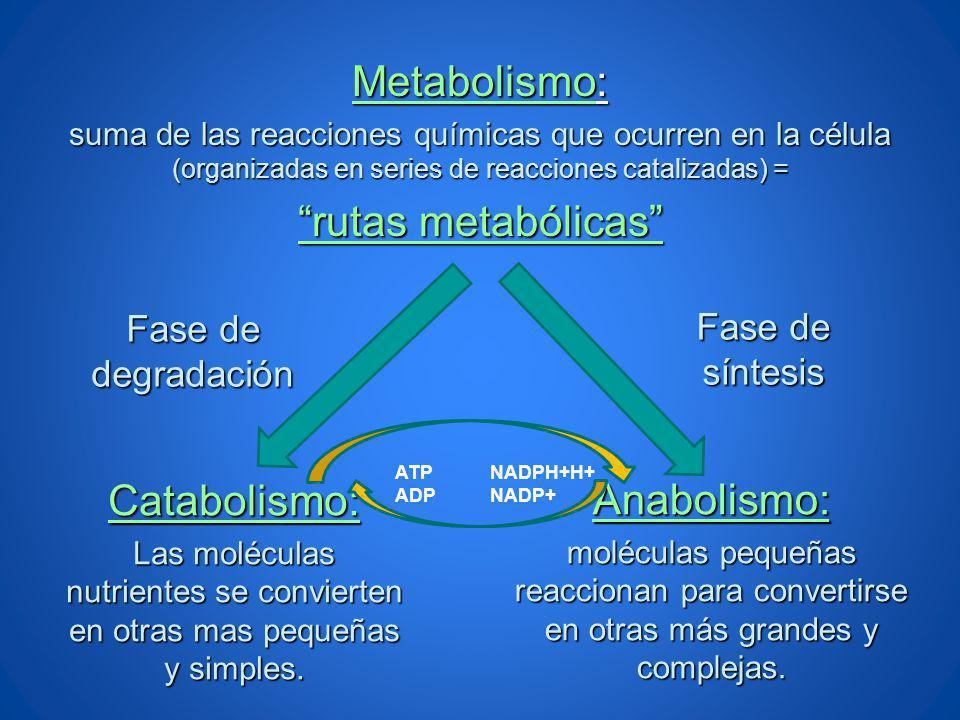 Metabolismo: rutas metabólicas Catabolismo: Anabolismo: Fase de