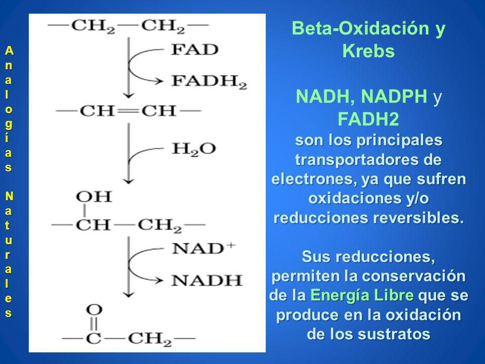 Beta-Oxidación y Krebs