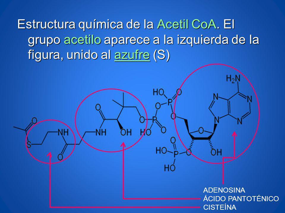 Estructura química de la Acetil CoA