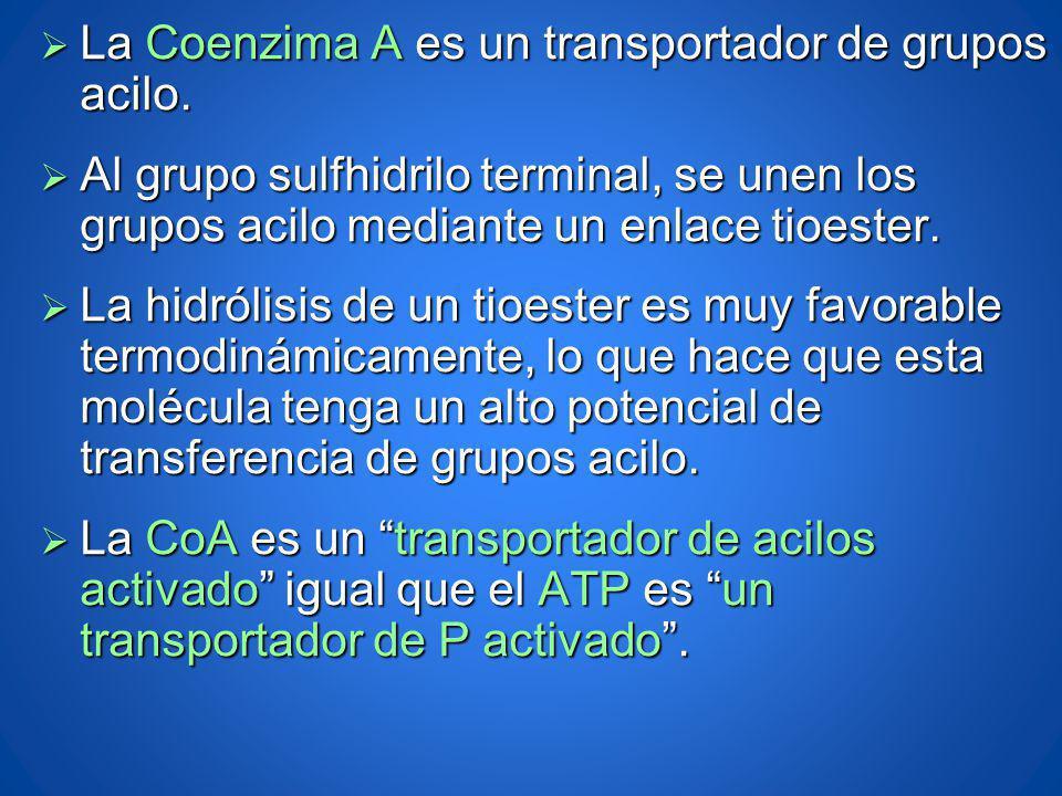 La Coenzima A es un transportador de grupos acilo.