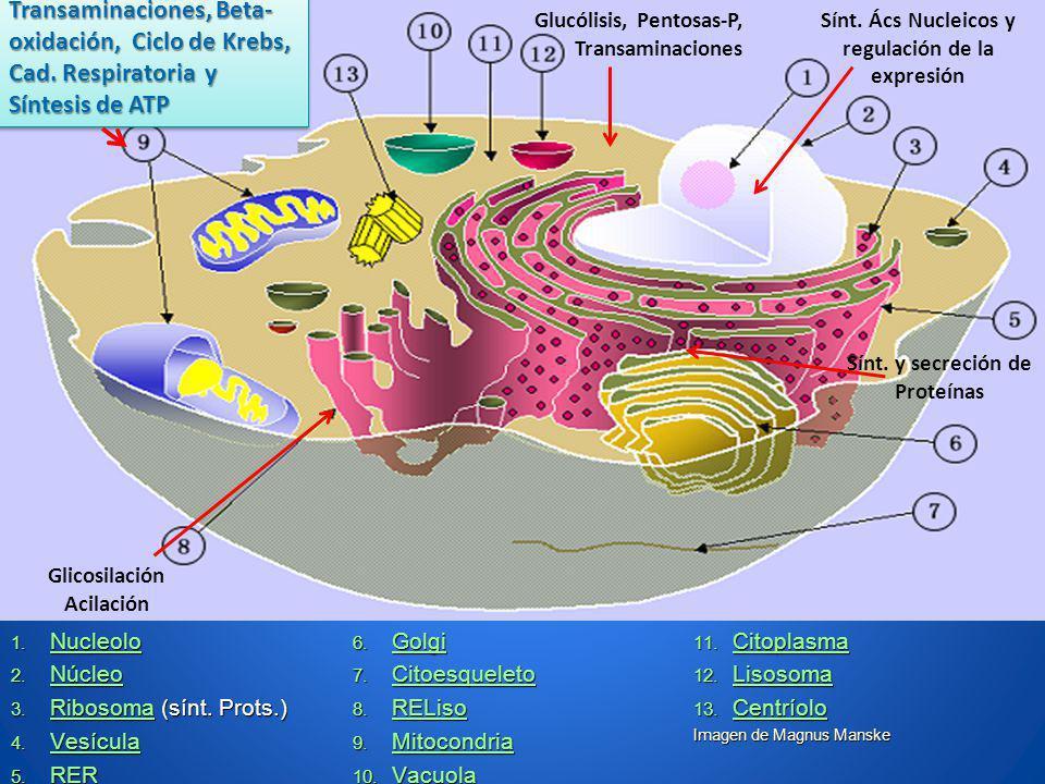 Transaminaciones, Βeta-oxidación, Ciclo de Krebs, Cad. Respiratoria y