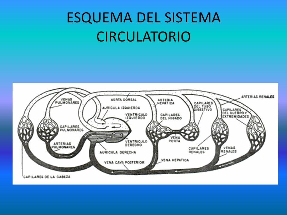 ESQUEMA DEL SISTEMA CIRCULATORIO