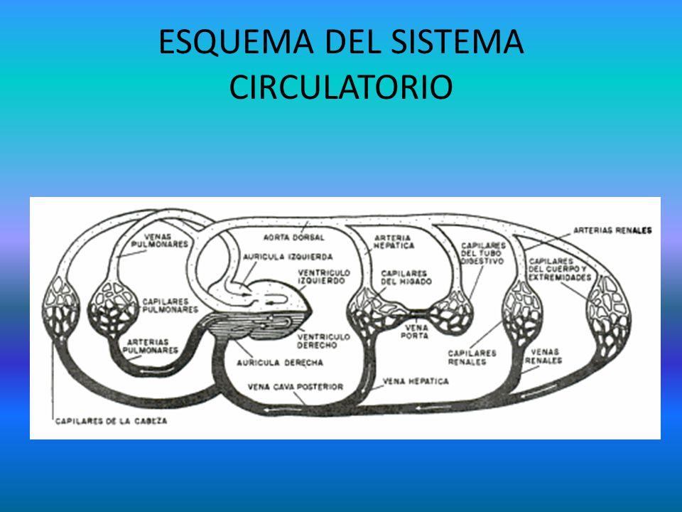 ESQUEMA DEL SISTEMA CIRCULATORIO