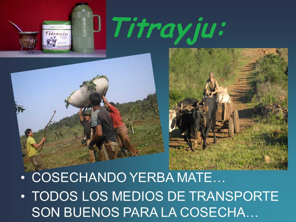 Titrayju: COSECHANDO YERBA MATE…