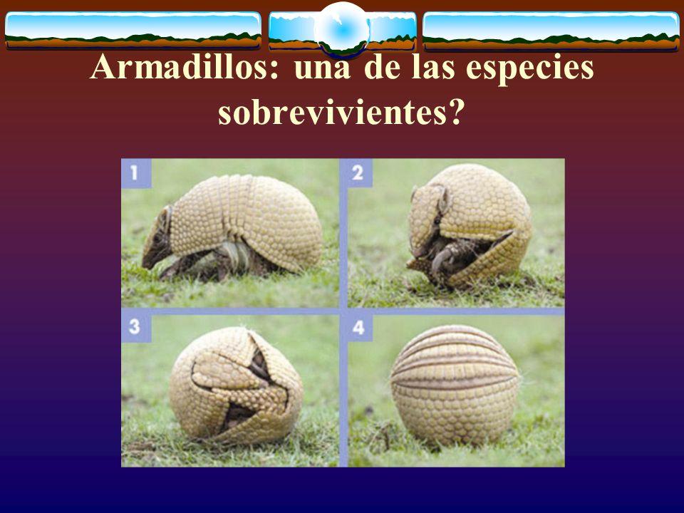 Armadillos: una de las especies sobrevivientes