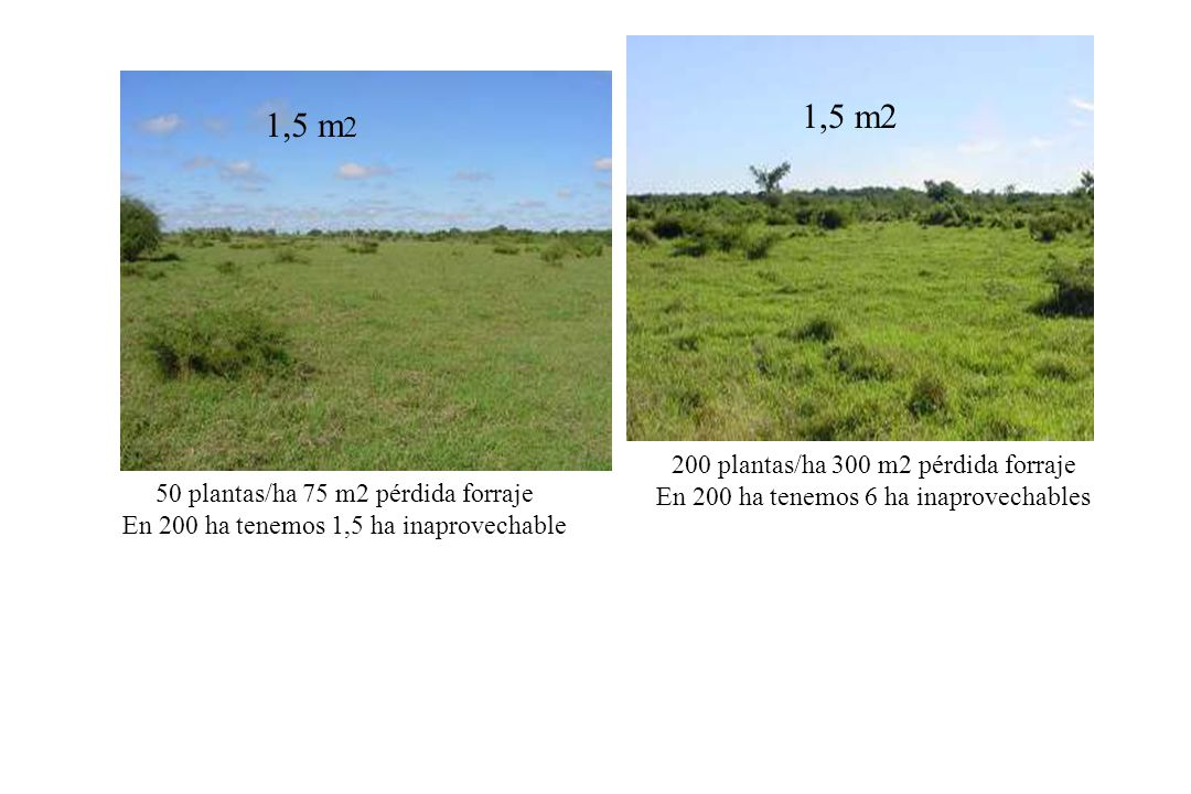 1,5 m2 1,5 m2 200 plantas/ha 300 m2 pérdida forraje