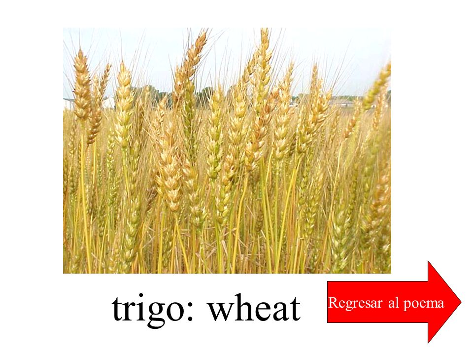 Regresar al poema trigo: wheat